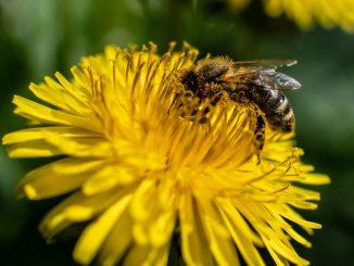 Biene-Bienensterben
