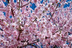 """Kirschblütenfest zum Hören ist online – Aufruf zur """"Friedensarbeit"""""""